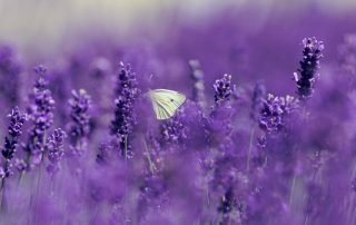 Lavender Flowers, where the essential oil is extracted from